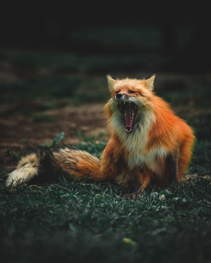 What does the fox say - Fineart photography by Kristof Göttling