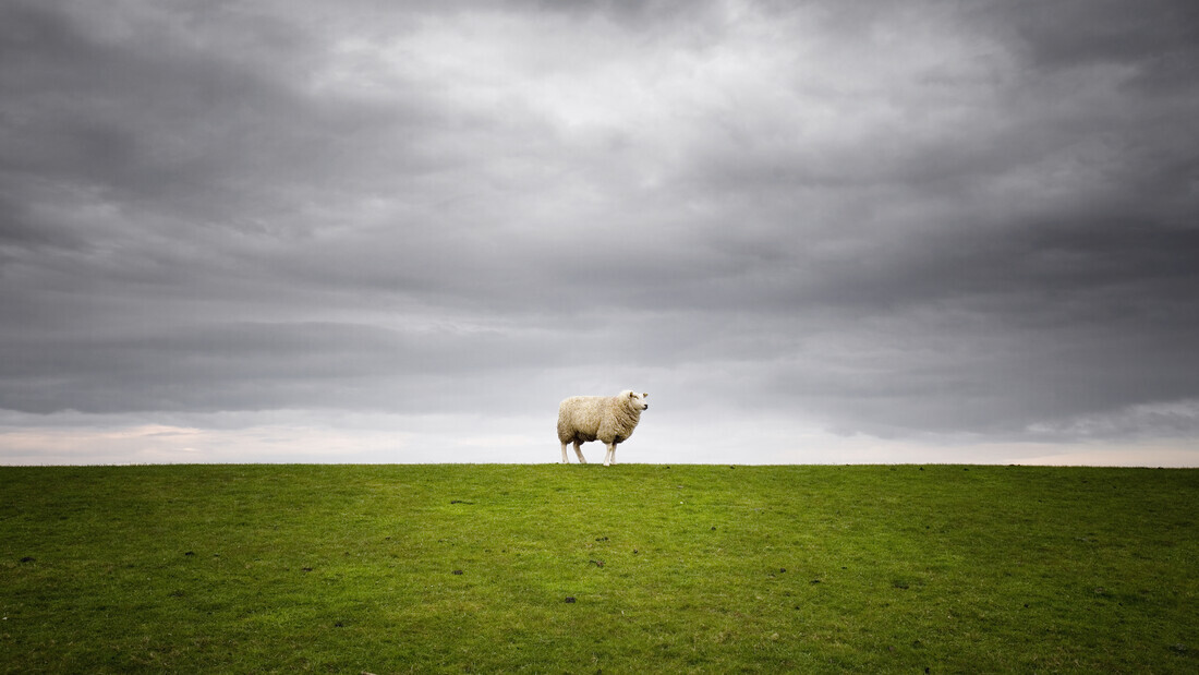 Lonely Sheep - Fineart photography by Carsten Meyerdierks
