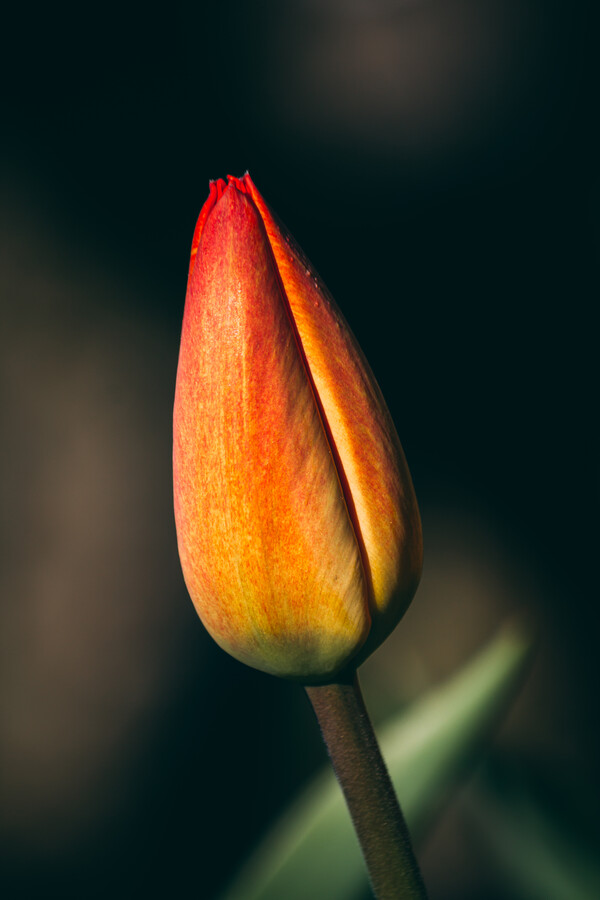 Tulpenknospe - fotokunst von Björn Witt