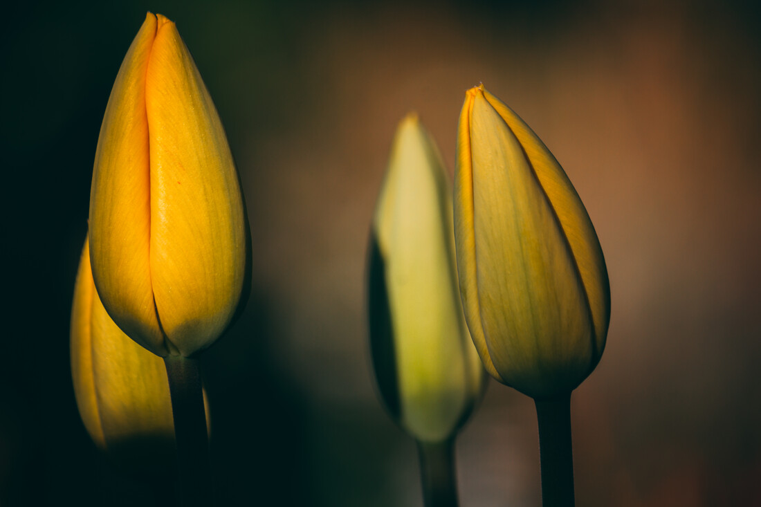 Tulpenknospen - fotokunst von Björn Witt