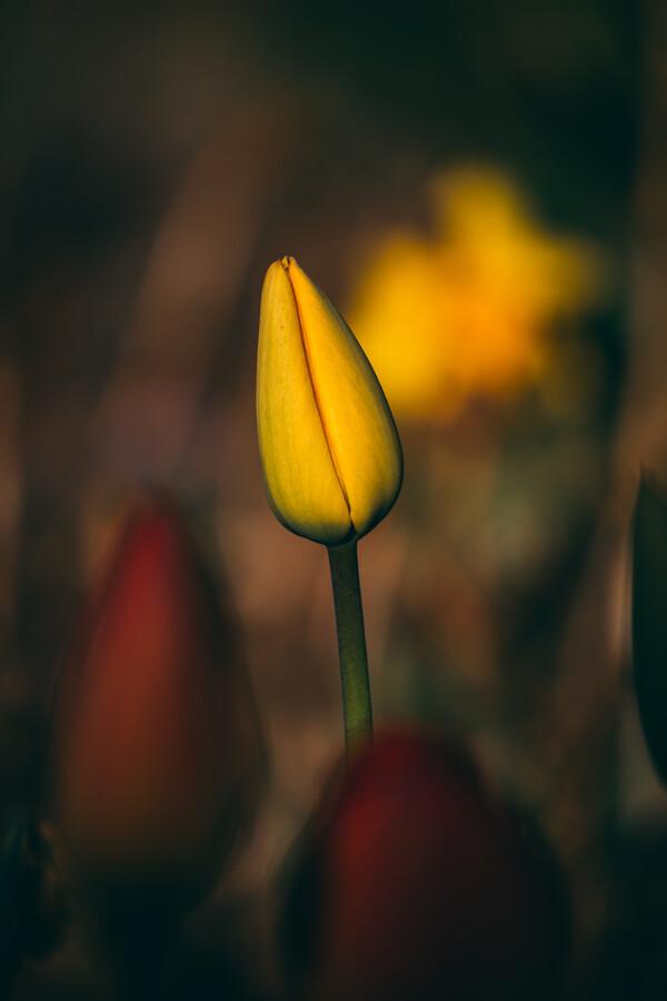 Tulpenknospe IV - fotokunst von Björn Witt