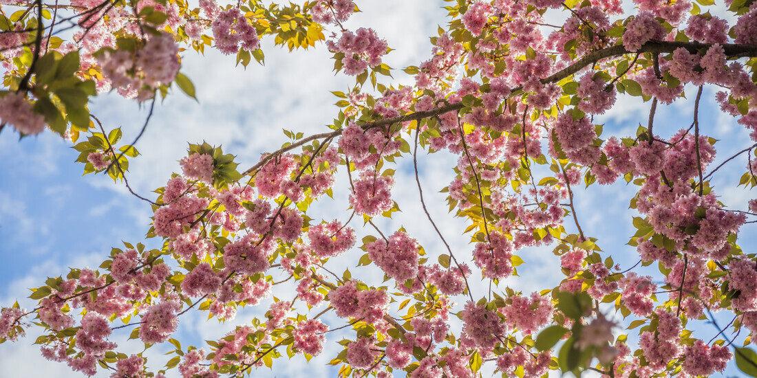 CHERRY BLOSSOM - Fineart photography by Andreas Adams