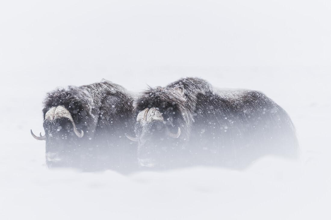 Snow fall - Fineart photography by Jonas Beyer