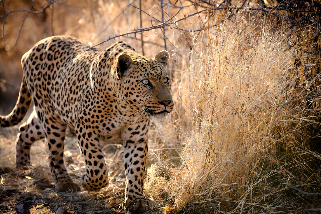 leopard on the hunt - Fineart photography by Dennis Wehrmann