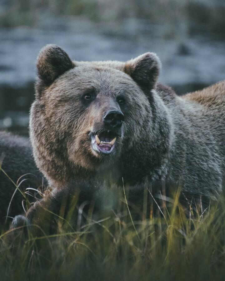 Mother Bear - Fineart photography by Patrick Monatsberger