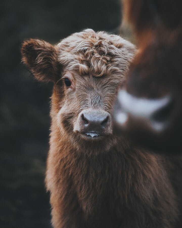 Baby Highland Coo - Fineart photography by Patrick Monatsberger