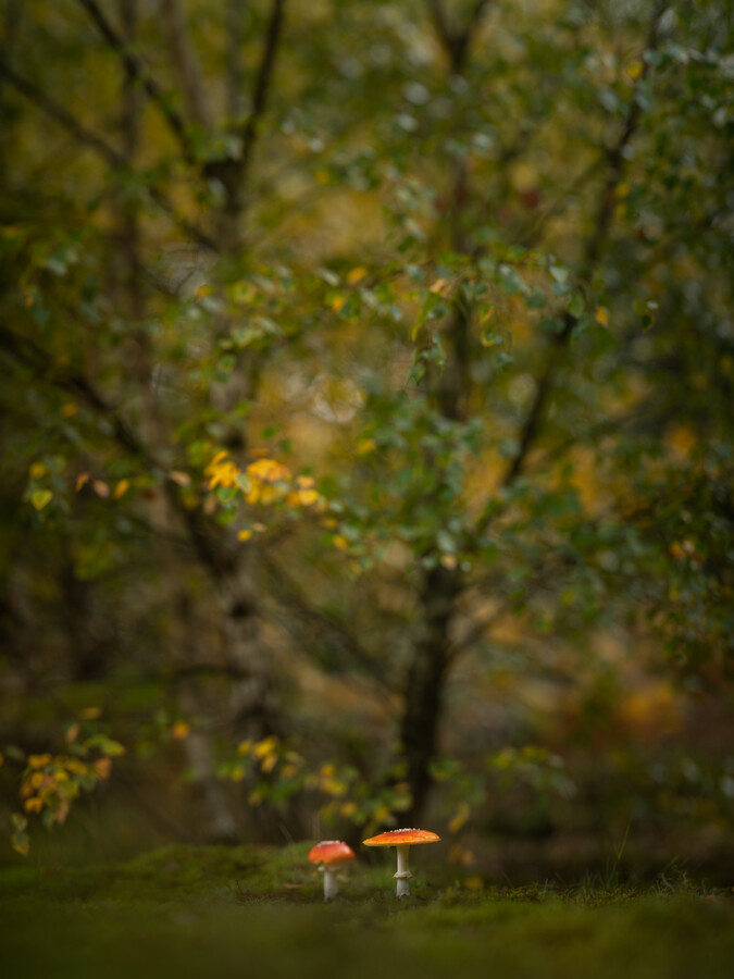 Fliegenpilze - fotokunst von Felix Wesch