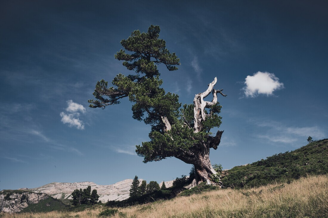 Lonesome Mountain Pine - Fineart photography by Alex Wesche