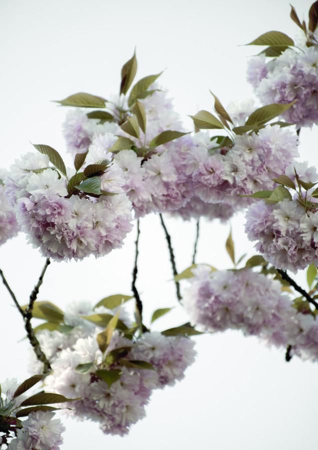 Clouds of Cherry Flowers - fotokunst von Studio Na.hili