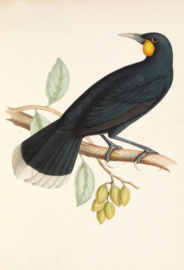 Huia - Fineart photography by Vintage Nature Graphics