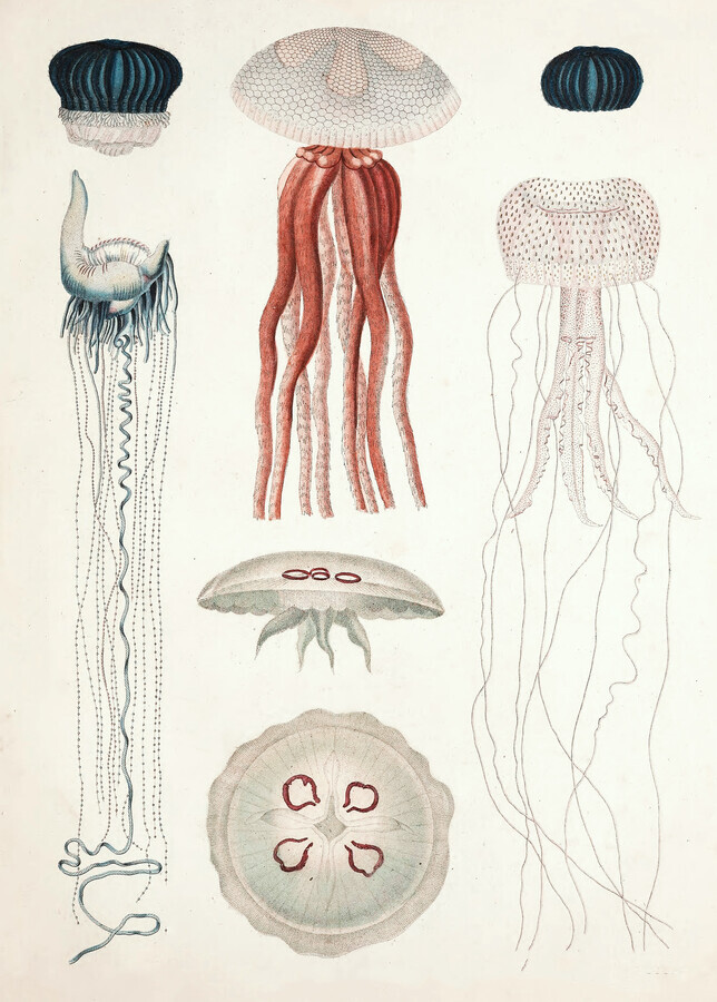 Vintage illustration of different types of jellyfish - Fineart photography by Vintage Nature Graphics