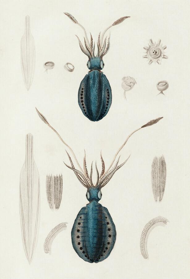 Sepioteuthe de dorei / Sepioteuthe lunule - fotokunst von Vintage Nature Graphics