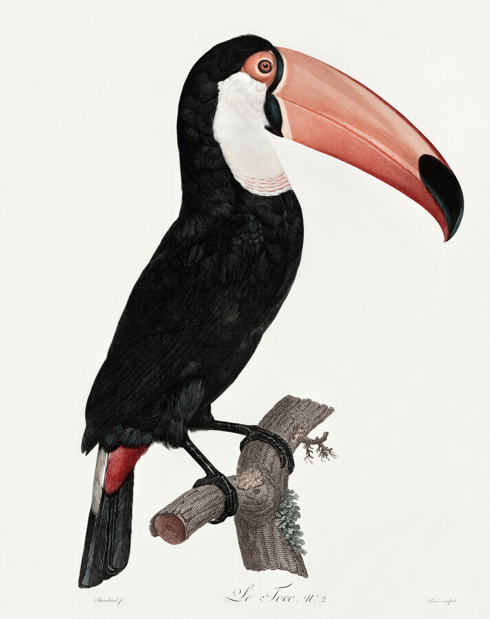 Vintage Illustration Tucano - Fineart photography by Vintage Nature Graphics