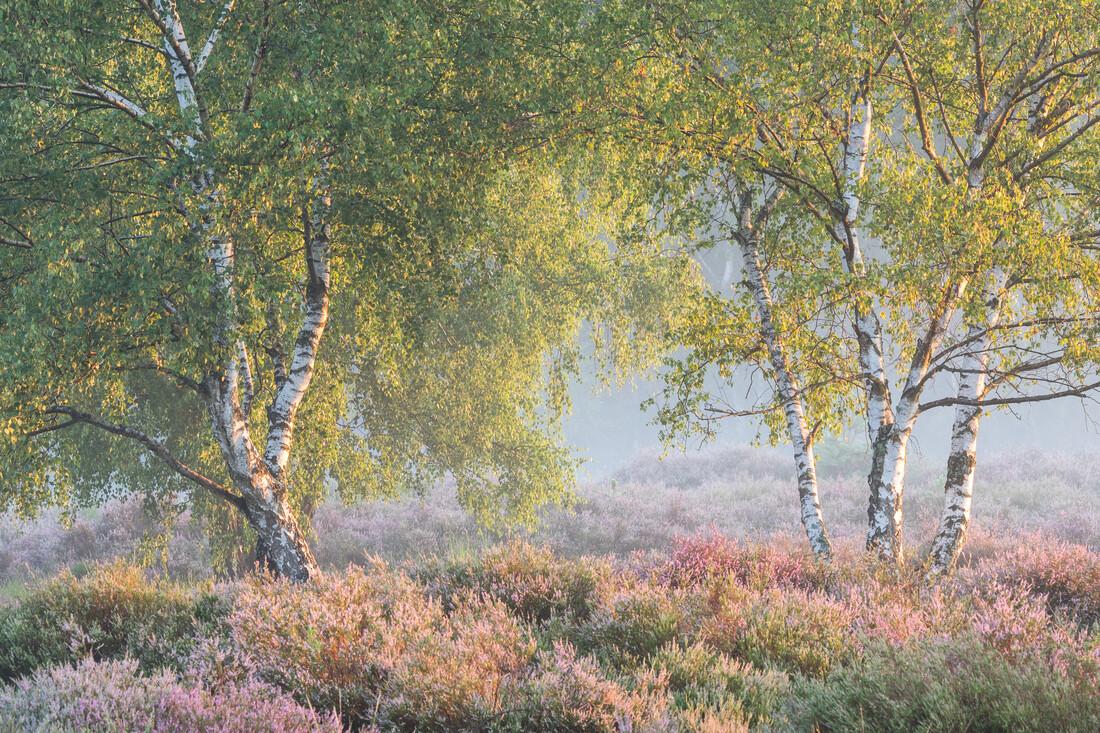 Heide bei Sonnenaufgang - fotokunst von Felix Wesch