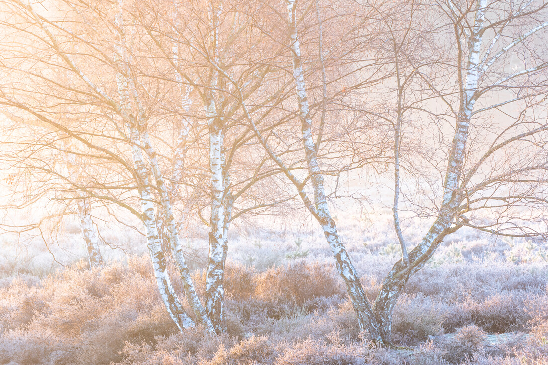 Birches at sunrise - Fineart photography by Felix Wesch