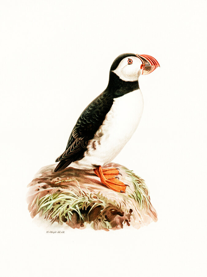 Vintage Illustration Atlantic Puffin - Fineart photography by Vintage Nature Graphics