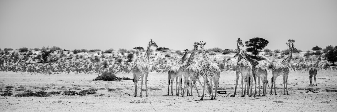 Panorama Giraffe Group Kgalagadi Transfrontier Park South Africa - Fineart photography by Dennis Wehrmann