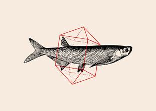 Florent Bodart, Fish in Geometrics (Deutschland, Europa)
