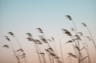 AJ Schokora, Reeds in the Wind (China, Asien)