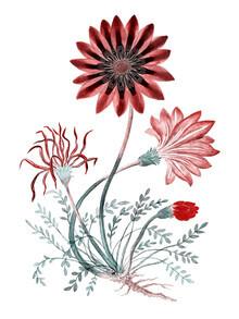 Vintage Nature Graphics, Gorteria diffusa (1777–1786) von Robert Jacob Gordon (Großbritannien, Europa)