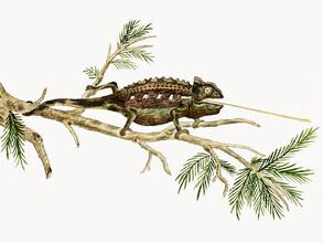 Vintage Nature Graphics, Robert Jacob Gordon: Chamaeleo namaquensis Namaqua-Chamäleon (Deutschland, Europa)