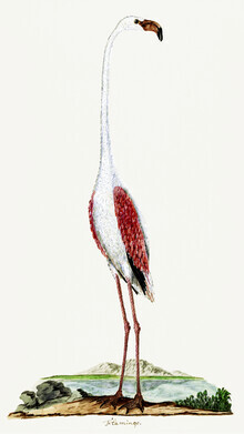 Vintage Nature Graphics, Phoenicopterus ruber roseus Rosaflamingo von Robert Jacob Gordon (Großbritannien, Europa)