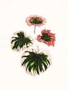 Vintage Nature Graphics, Benjamin Fawcett: Steinbrech Saxifraga Fortunei (Deutschland, Europa)