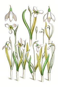 Vintage Nature Graphics, Maurice Pillard Verneuil: Schneeglöckchen (Frankreich, Europa)