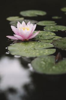 Nadja Jacke, Blooming water lily (Germany, Europe)