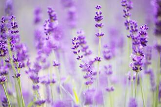 Nadja Jacke, Blooming lavender (Germany, Europe)
