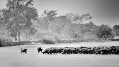 Dennis Wehrmann, Buffalo herd Mwaleshi River North Luangwa (Zambia, Africa)