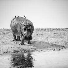 Dennis Wehrmann, hippopotamus amphibius (Zambia, Africa)