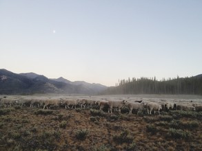 Kevin Russ, Ketchum Sheep Herd (United States, North America)