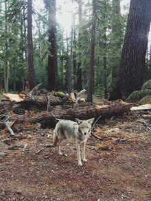 Kevin Russ, Injured Coyote (Vereinigte Staaten, Nordamerika)