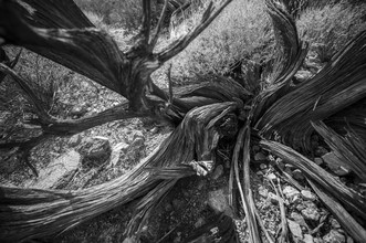 Dead Tree, Joshua Tree National Park - Fineart photography by Jakob Berr