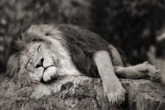 Elke Krone, schlafender Löwe (Südafrika, Afrika)
