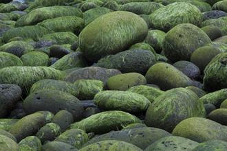 Stefan Blawath, Leuchtend grüne Algen erobern Steine an der Küste (Island, Europa)