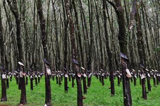 Haifeng Ni, Rubber Trees (Vietnam, Asia)