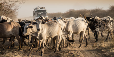 Ulrich Kleiner, Rindverkehr (Sudan, Afrika)