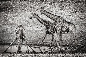 Franzel Drepper, Giraffen am Wasserloch B (Namibia, Afrika)