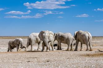 Weiße Elefanten (Etoscha National Park, Namibia) - fotokunst von Ralf Germer