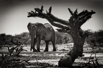 Franzel Drepper, Elefant at Third bridge camp in Botsuana (Botswana, Afrika)