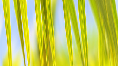Ursula Fleiß, Foto - Fuks, Palmblätter abstrakt, Moorea Island, Südsee (Französisch-Polynesien, Australien und Ozeanien)