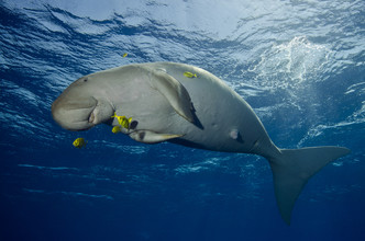 Christian Schlamann, Happy Dugong (Egypt, Africa)