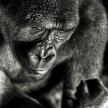 Regis Boileau, Man as a risen ape (Kongo, Republik, Afrika)