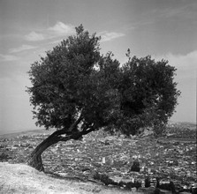 David Scheffer, Olive Tree (Morocco, Africa)