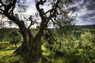 Heiko Gerlicher, Der alte Olivenbaum (Italien, Europa)