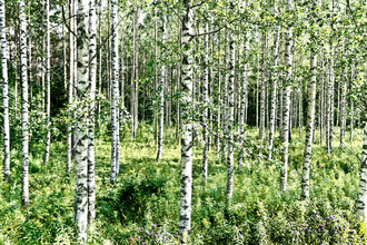 Tim Bendixen, Birches (Finland, Europe)