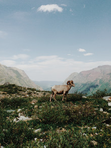 Kevin Russ, Big Horn Sheep (United States, North America)