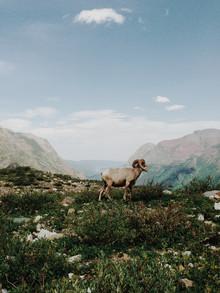Kevin Russ, Big Horn Sheep (Vereinigte Staaten, Nordamerika)